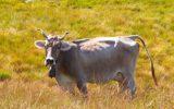 Accordo tra UE e USA sulle carni bovine di alta qualità