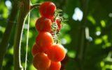 Anicav: solo pomodori made in italy sulle tavole italiane