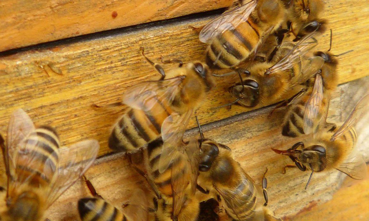 Anno nero per l'apicoltura italiana