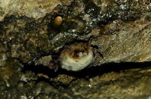 Arriva in Italia il White-nose Disease dei pipistrelli