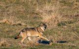 CAI contro lo sterminio dei grandi predatori