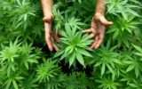 Cannabis: gli italiani favorevoli alla coltivazione per usi terapeutici