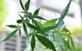 Cannabis terapeutica: i dati scoraggianti della Francia