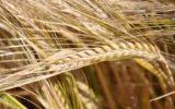 Cerealia. La festa dei cereali. Cerere e il Mediterraneo