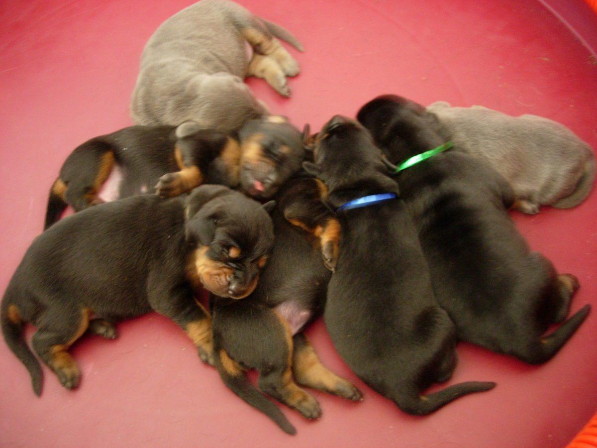 Clonazione animale: nati i primi cani in provetta