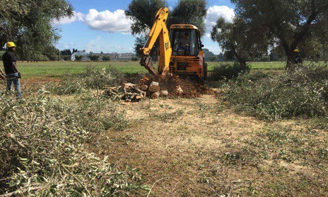 CNR: xylella causa il disseccamento degli olivi salentini