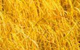 Completato il genoma del grano duro: quale futuro per la filiera nazionale?