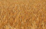 Continua la deflazione del grano