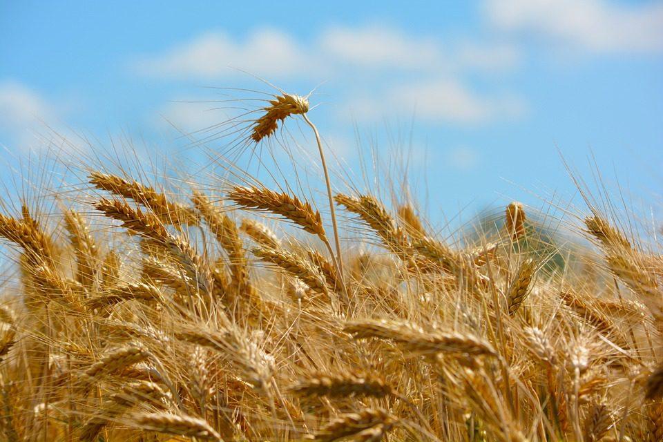 Crisi del grano: dati e proposte