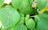 Dal Giappone la pianta che da la longevità