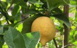 Dieci scatti per il limone di Sorrento