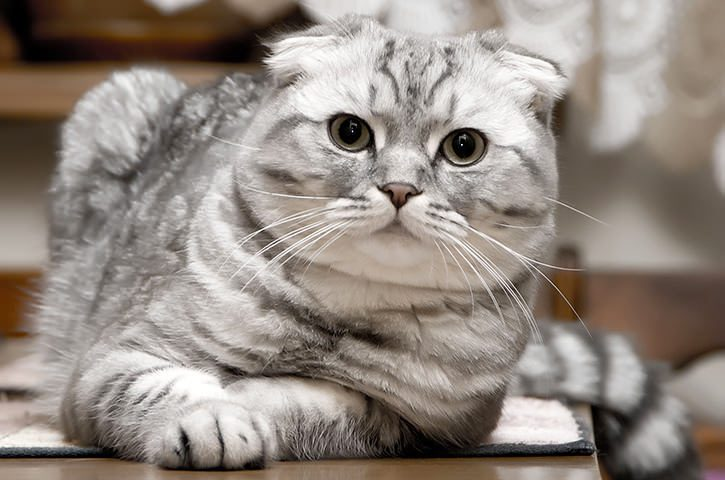 Elezioni comunali in Siberia: il favorito è un gatto!