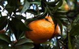 Festa del Mandarino a Capodimonte