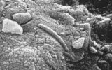Funghi antartici idonei per Marte