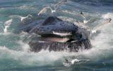 Gabbiani killer: una minaccia per le balene