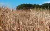 Grano duro: in Italia previste semine in calo