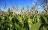 I danni della deflazione sul grano e sul latte