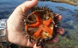 I ricci di mare proteggono il cuore