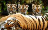 Il commercio illegale delle tigri