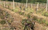 Il gelo fuori stagione distrugge ortaggi e vigne