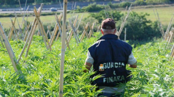 Il nuovo business della droga: piantagioni di marijuana tra boschi e colture
