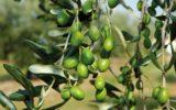 Il piano olivicolo nazionale