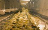 Il primo centro in Italia per la ricerca sui cannabinoidi è campano