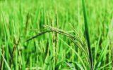 Importazioni riso asiatico: arriva la scure Ue