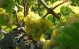 L'elogio dell'uva
