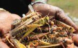 L'invasione delle locuste in Africa che sta preoccupando un continente