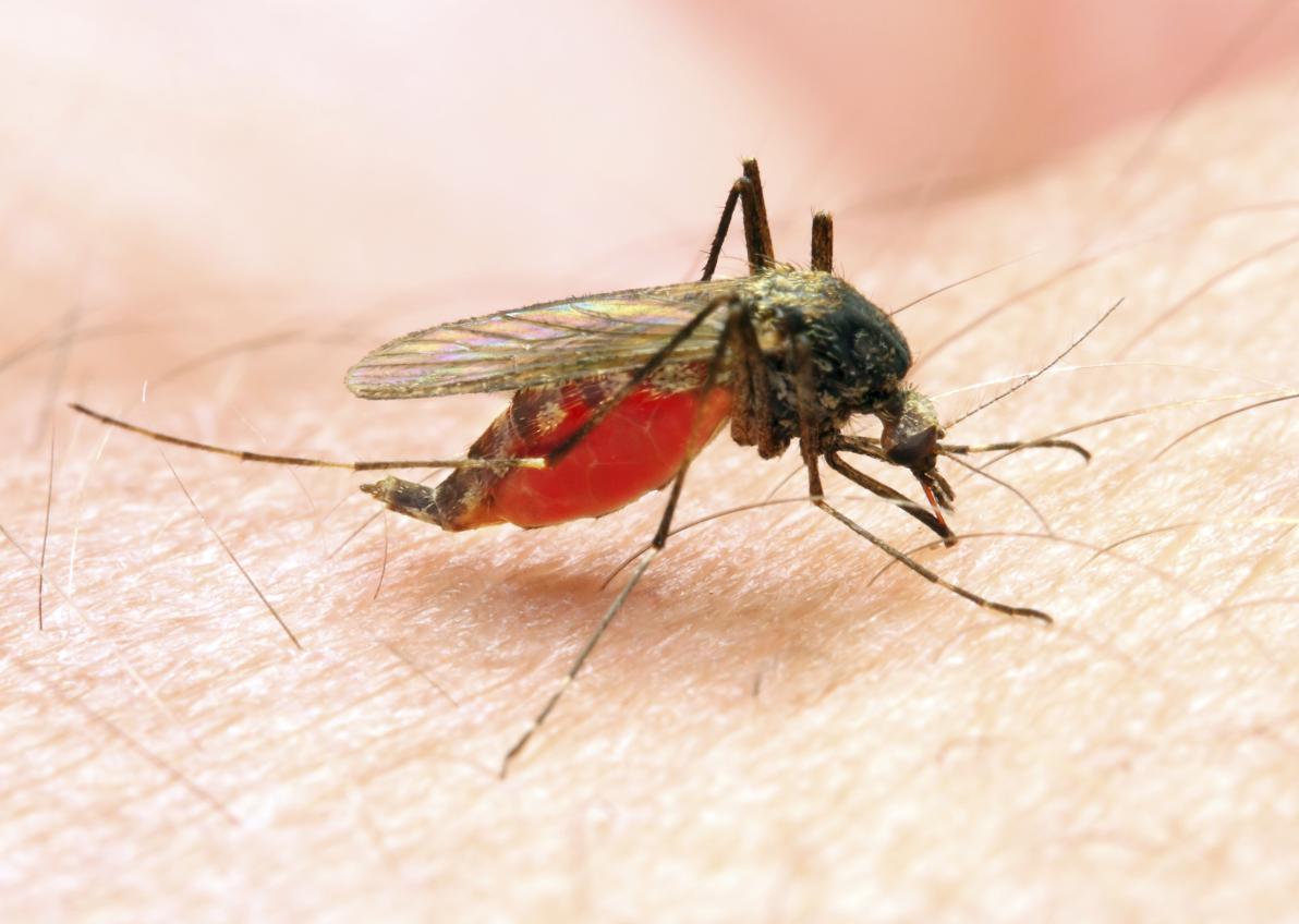 L'odore della malaria