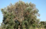 La FAO s'interessa alla Xylella fastidiosa