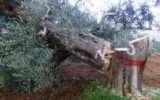 La FAO si riunisce per parlare di Xylella fastidiosa
