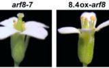 La fertilità maschile delle piante