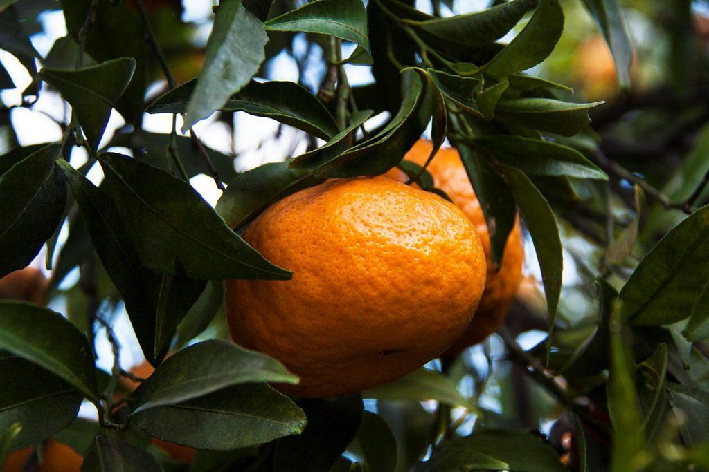 La Festa del Mandarino