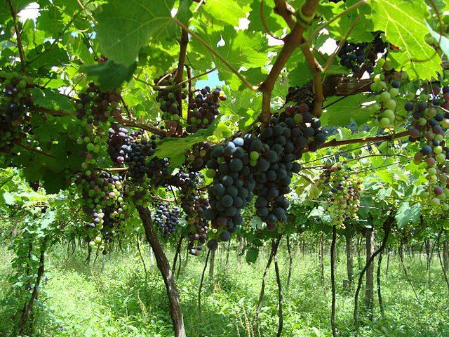 La filiera vitivinicola campana