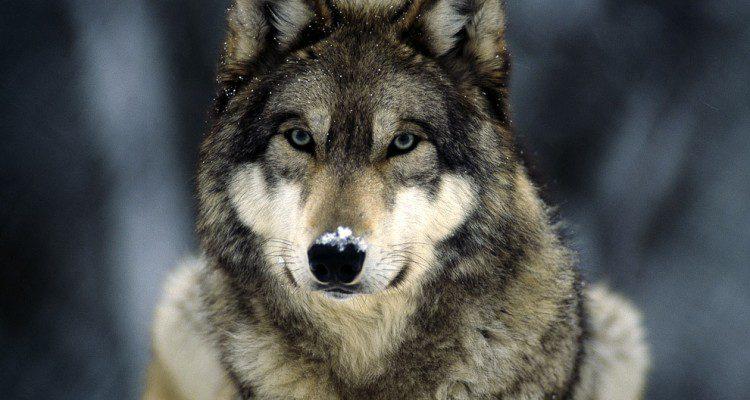 La Petizione WWF per salvare il lupo