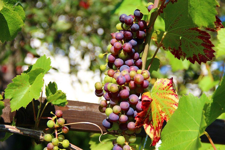 La produzione del vino ai minimi