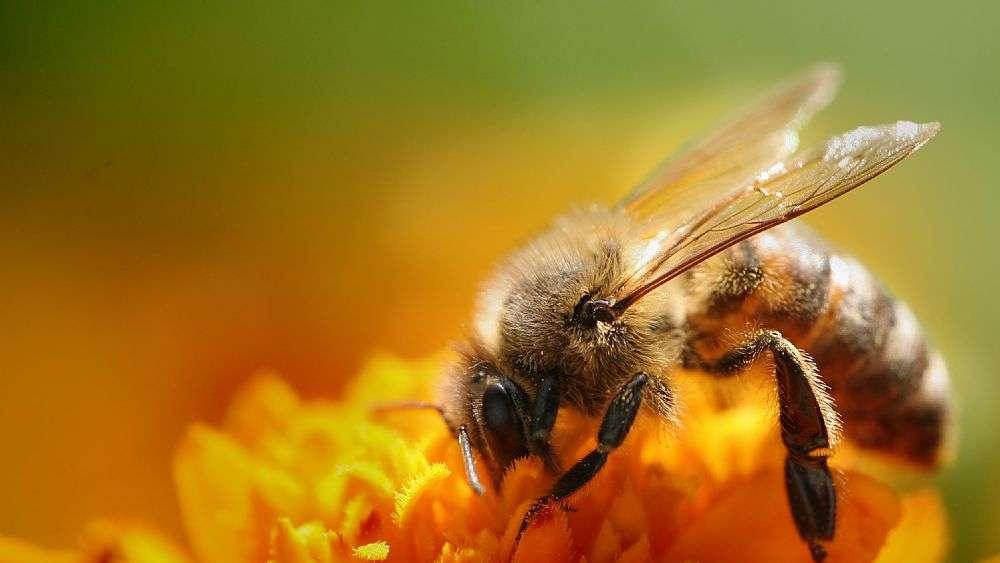 La scomparsa delle api potrebbe causare la fine dell'umanità in 35 anni?