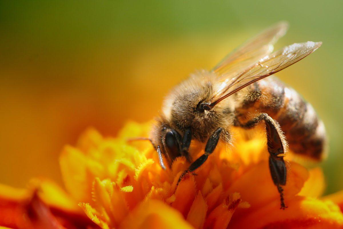 La scomparsa delle api potrebbe causare sconquassi nel mondo