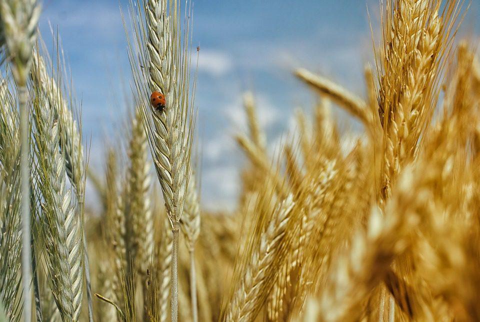 La speculazione sul grano