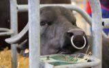 La tracciabilità della filiera bufalina