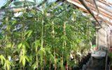 """Le """"canne"""" ad alto contenuto di cannabis possono danneggiare significativamente il cervello"""