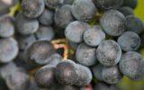 Le Città del Vino verso l'Unesco