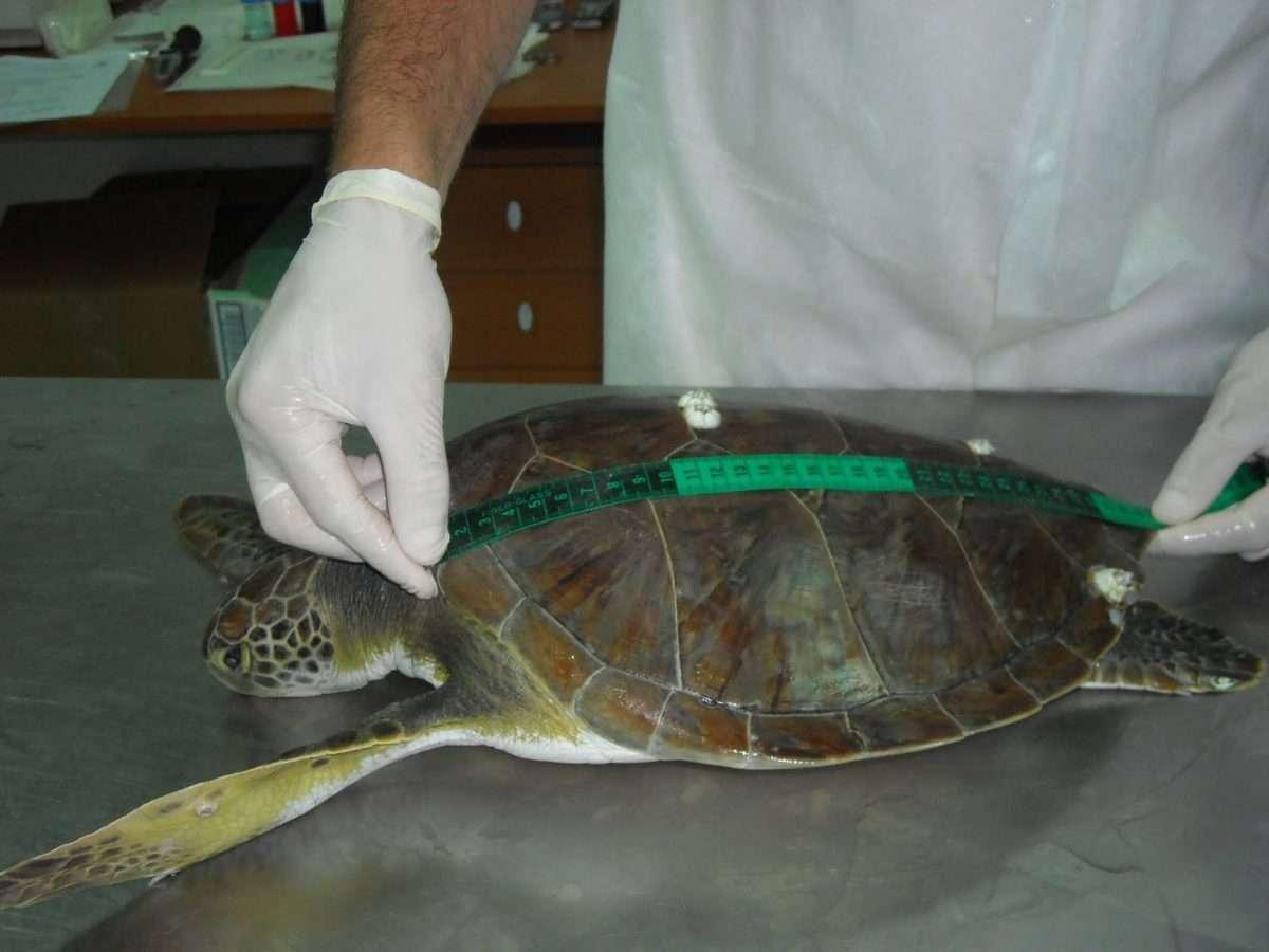 Legambiente e Mareblu per la tutela delle tartarughe marine