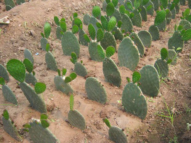 Mangiare i cactus?