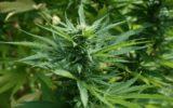 Nuovi studi sull'uso della marijuana