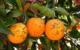 Nuovi studi sulla macchia nera degli agrumi