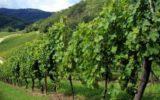 OCM Vino: pubblicato il bando per gli investimenti 2019-2020
