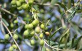 Olio di oliva: bassa produzione e scarsa valorizzazione